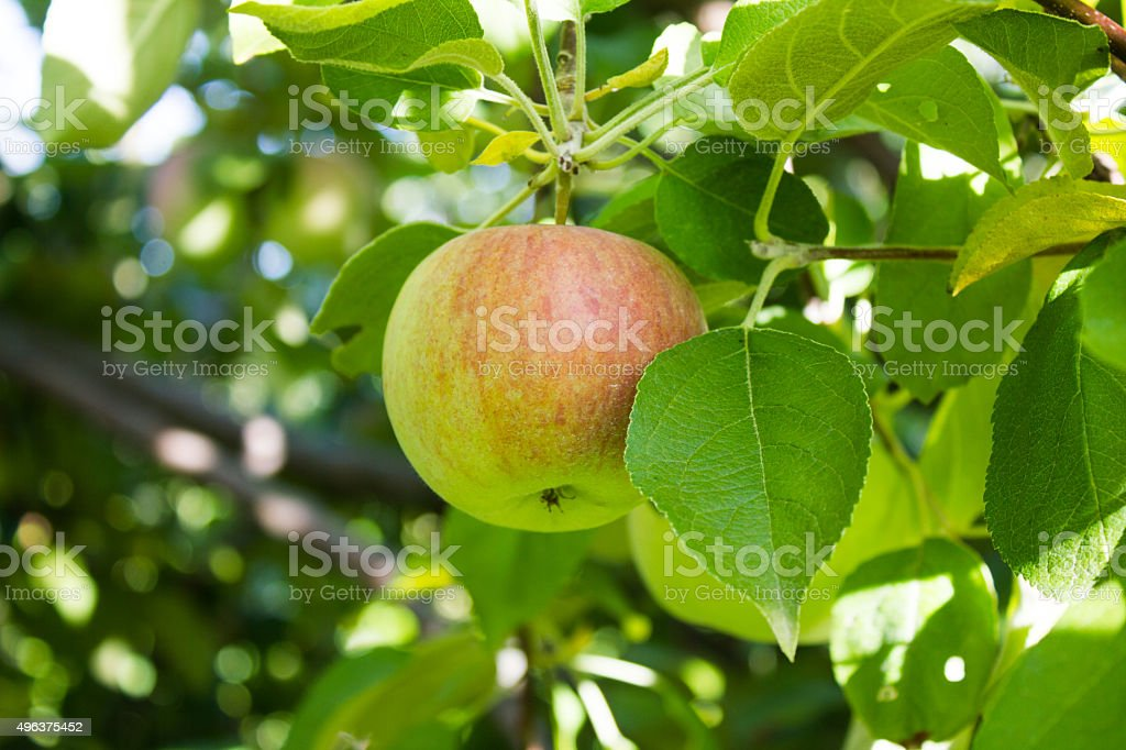 Green Apple in Tree stock photo