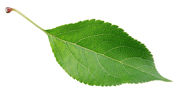 Green Apple Leaf On White Stock Photo - Download Image Now