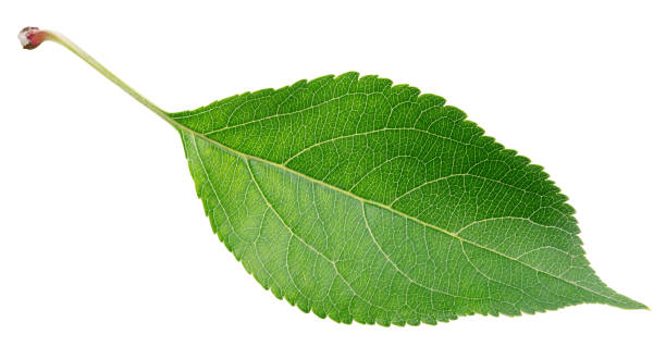 Royalty Free Apple Tree Leaves Pictures, Images and Stock ...