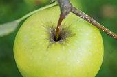green apple on the tree macro