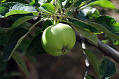 green apple on a tree on a background of green leaves