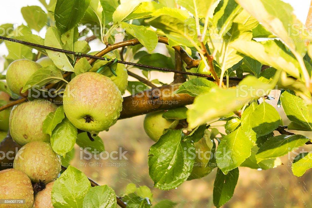 Grüner Apfel auf dem Schaft – Foto