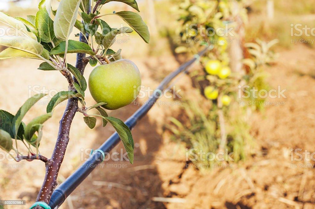 Grüner Apfel auf dem Schaft mit Bewässerung BLCAK Rohr – Foto