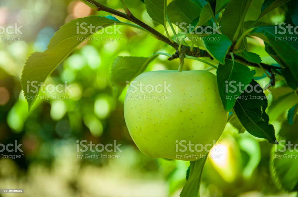 Green apple on tree stock photo