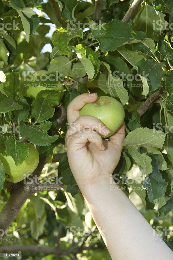 Green Apple Picking stock photo