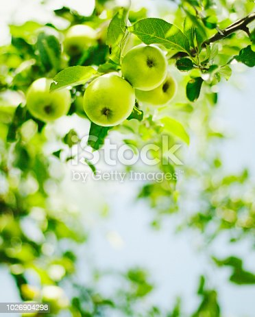 green apples hanging on branch against blue sky