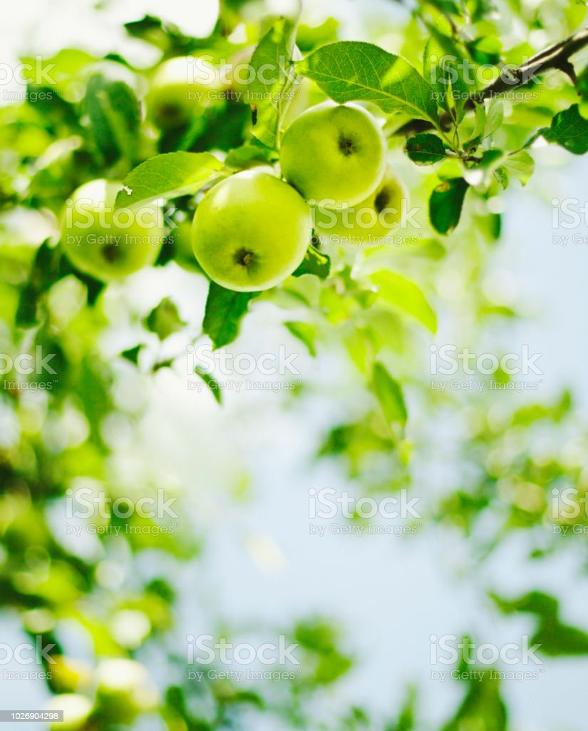 green apples hanging on branch stock photo