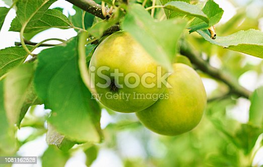 green apples hanging on branch against bright sky