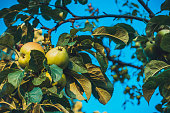 green apples in a natural tree