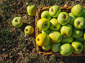 Green apples in full harvest in a basket in the countryside