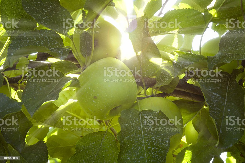 Green apples in the sunlight royalty-free stock photo
