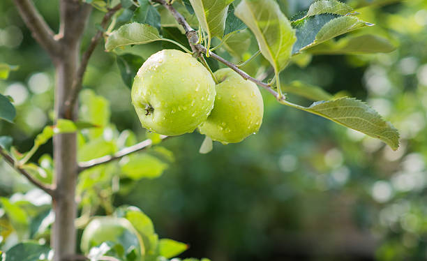 green apples on a branch in an orchard Closeup of green apples on a branch in an orchard granny smith apple stock pictures, royalty-free photos & images