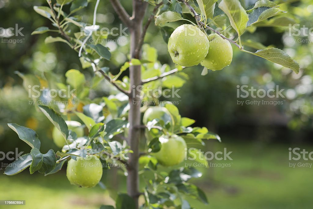 green apples on a branch royalty-free stock photo