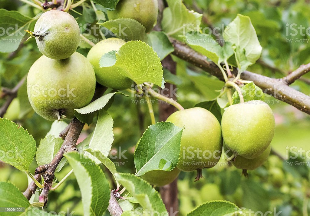 green apples on a brunch royalty-free stock photo