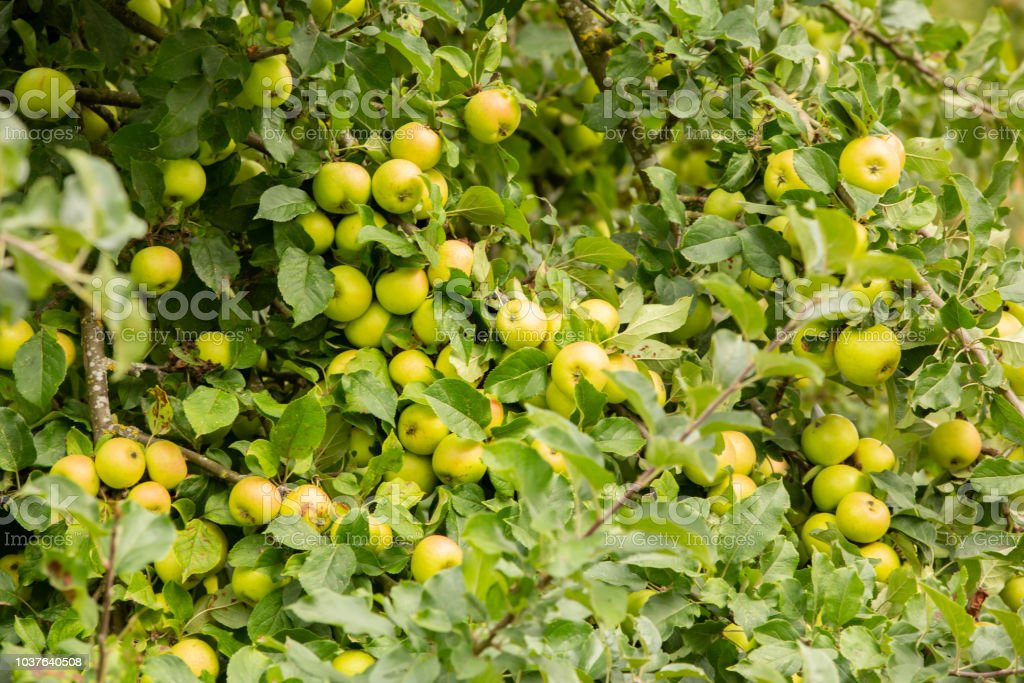 Green apples on a tree. stock photo