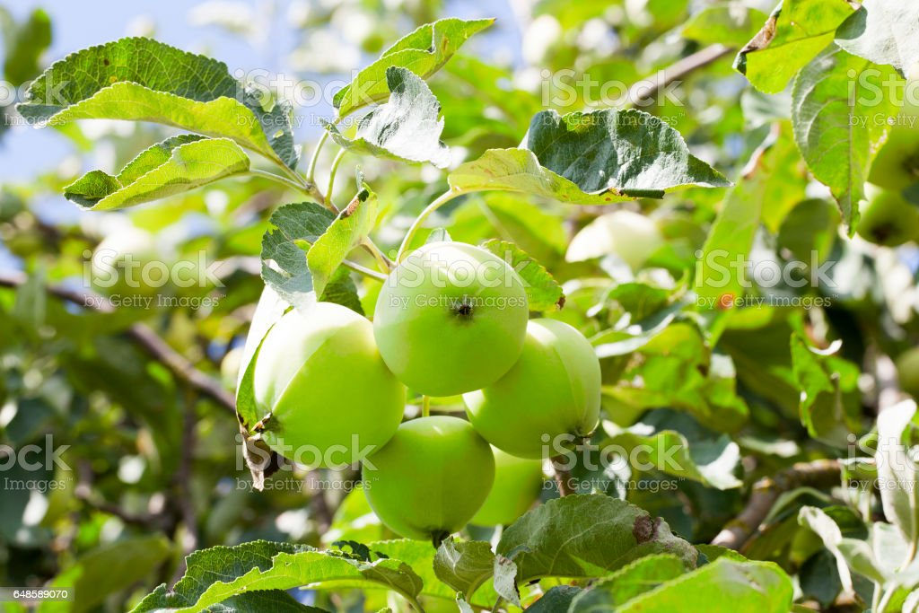 Green apples on the tree stock photo