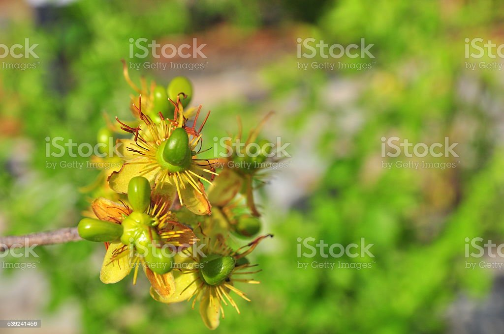 Green apricot bud in the sun royalty-free stock photo