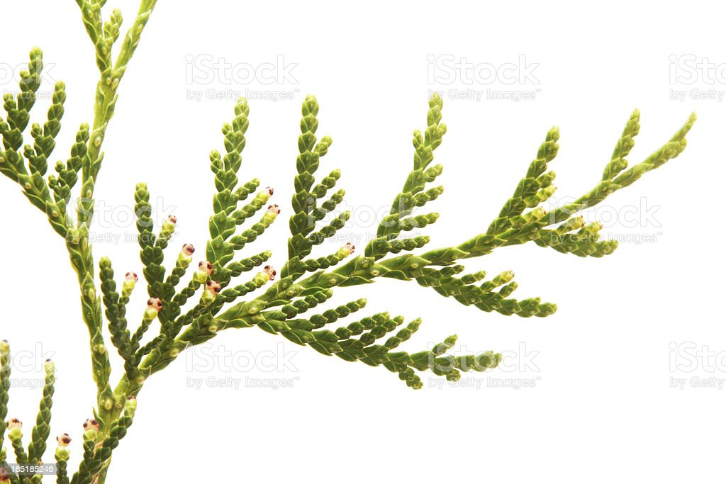 green arborvitae branch on a white background royalty-free stock photo