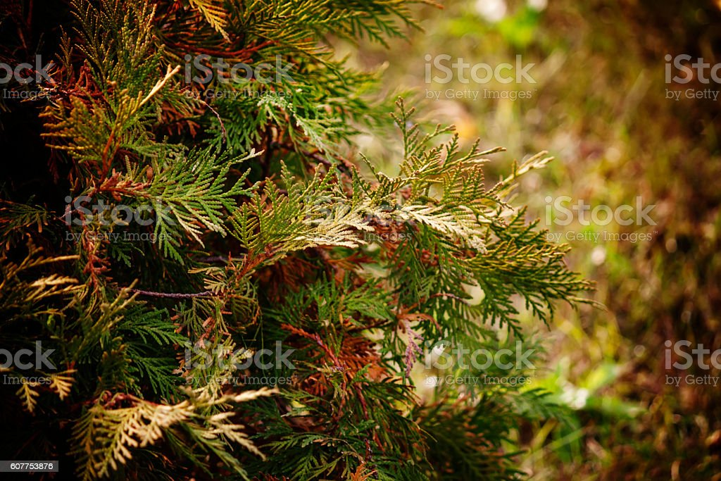 Green arborvitae branches of a coniferous tree stock photo