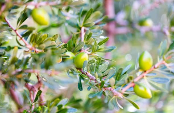 Green argan nuts on tree branch stock photo