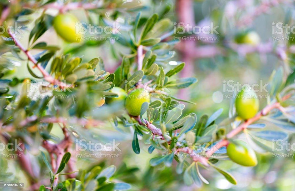 Ağaç dalı yeşil argan fındık stok fotoğrafı