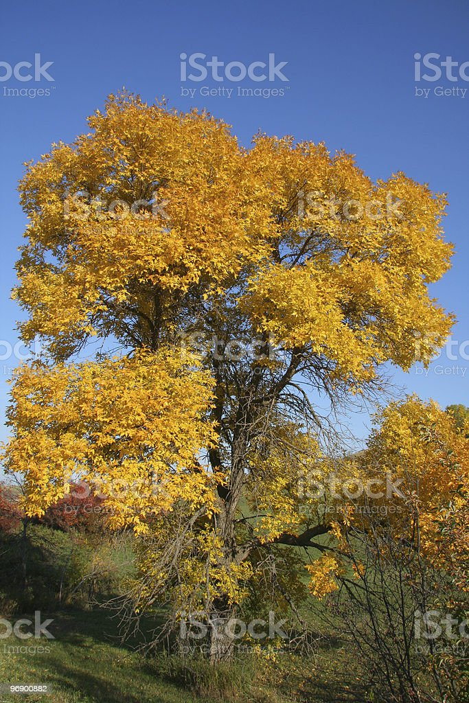 Green Ash in Fall Colors royalty-free stock photo
