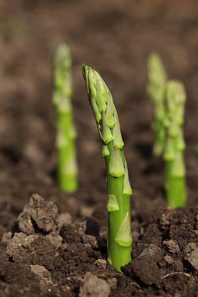 green asparagus spears emerging through the soil, shalow DOF stock photo