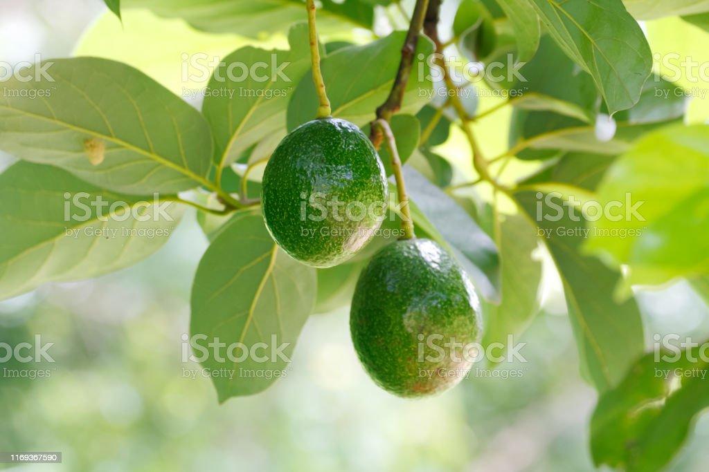 Green avocado fruit Green avocado fruit (Persea americana) on the tree (shallow DOF, focus on fruit skin) Avocado Stock Photo