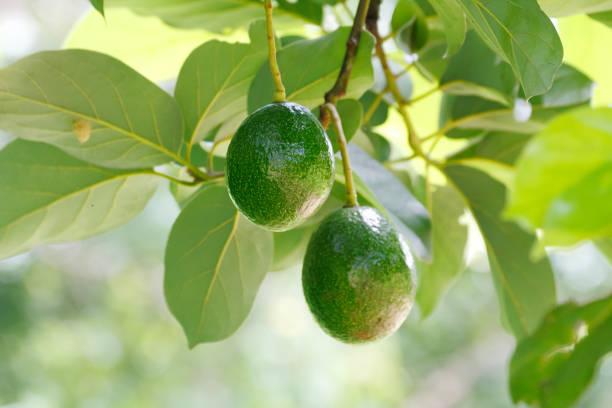 Green avocado fruit stock photo