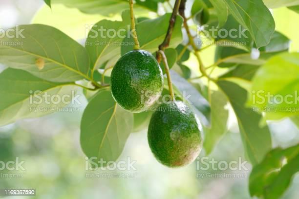 Green Avocado Fruit Stock Photo - Download Image Now