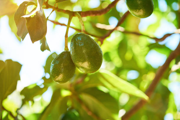 Green avocado fruits stock photo
