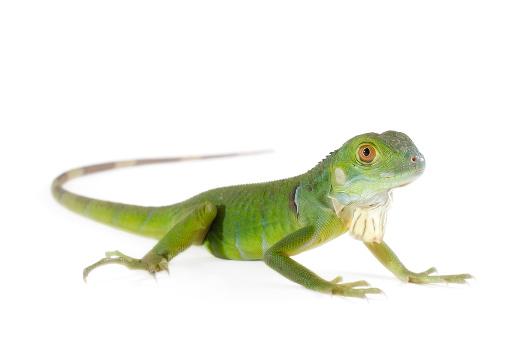 Green baby iguana on a white backdrop
