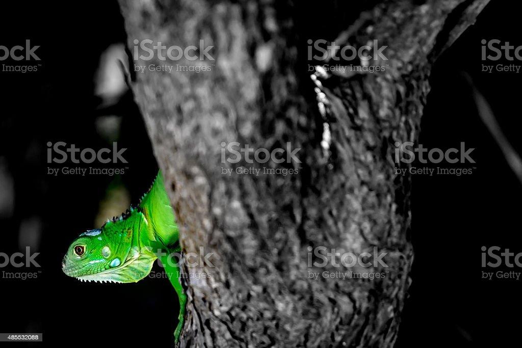 Grüne baby-Leguan – Foto