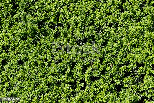 This photo shows new growth in the evergreen needles on the leaves of a yew hedge (Taxus baccata). Makes a natural, prickly green background.