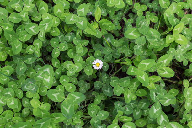 green background of clovers with a lonely daisy stock photo