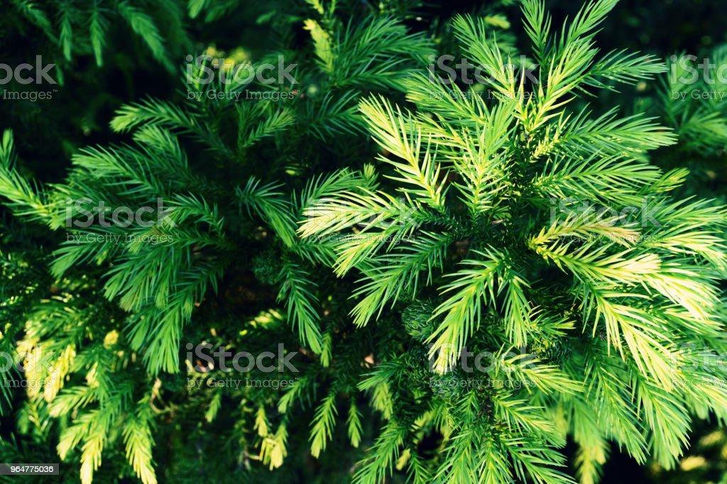 Green background of fir branches. Toning. royalty-free stock photo