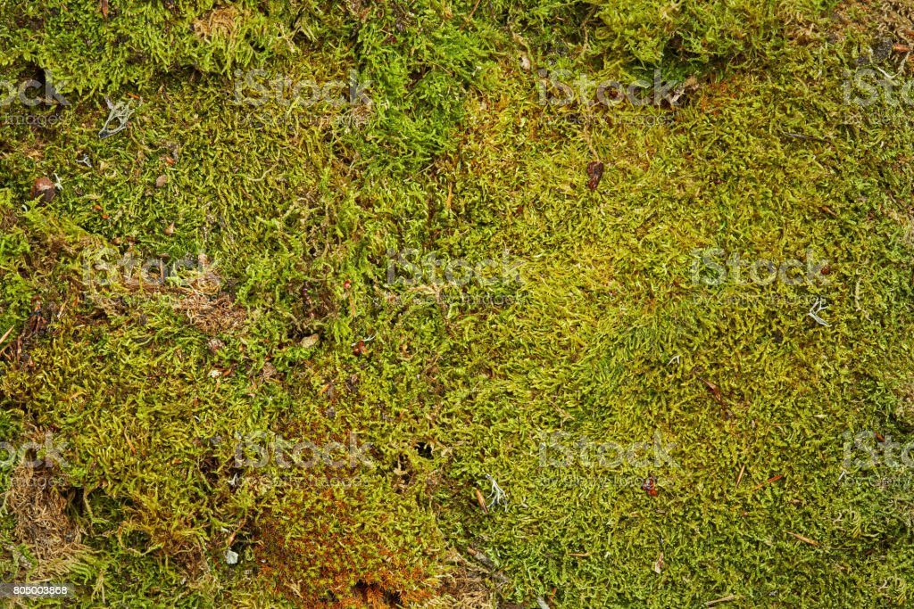 Green background of forest moss stock photo