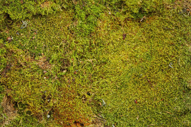 green background of forest moss - moss stock photos and pictures