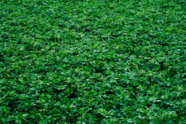 green background texture of shamrock alfalfa. green plants. leaves. nature. field - erba medica foto e immagini stock