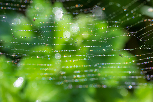 green background with morning spring or summer dew on a cobweb