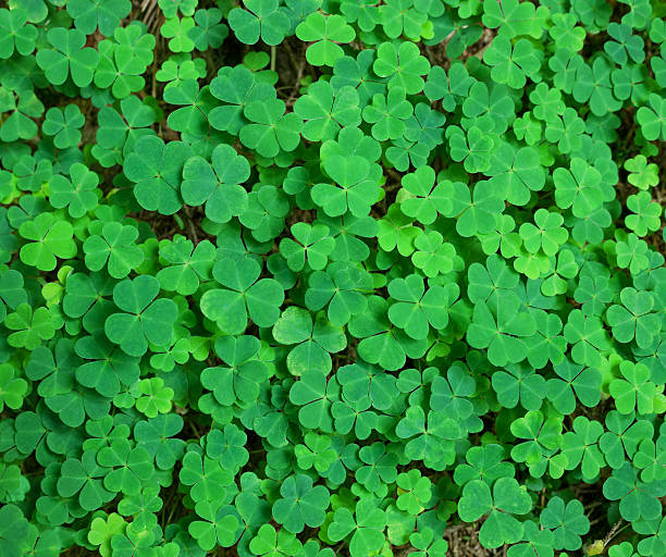 green background with three-leaved shamrocks. - st patricks days stock photos and pictures