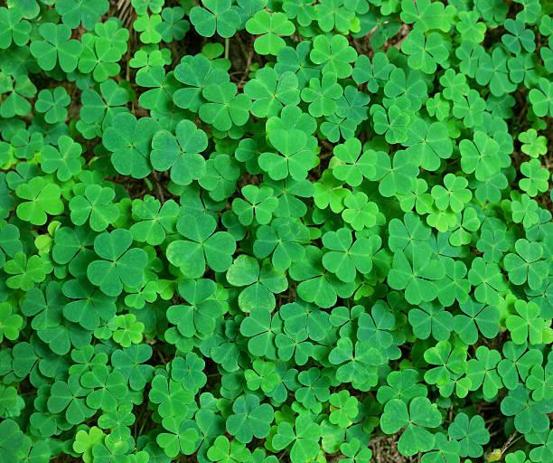 green background with three-leaved shamrocks. stock photo