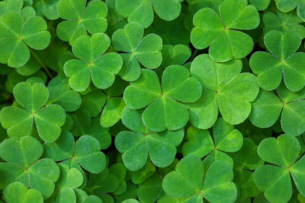 green background with three-leaved shamrocks. st. patrick's day holiday symbol.  shallow dof. selective focus. - st patricks day background stock photos and pictures