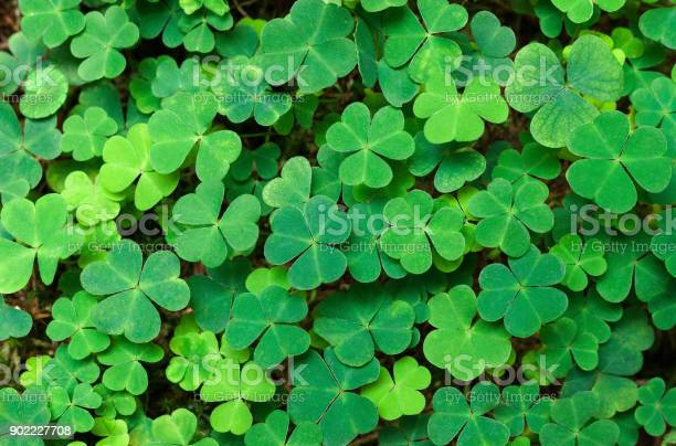 Green background with threeleaved shamrocks stpatricks day holiday picture id902227708?b=1&k=6&m=902227708&s=612x612&h=6bq7yguctk 5t0pjz ez79wwjmd9vdce8gkeyfxct1w=