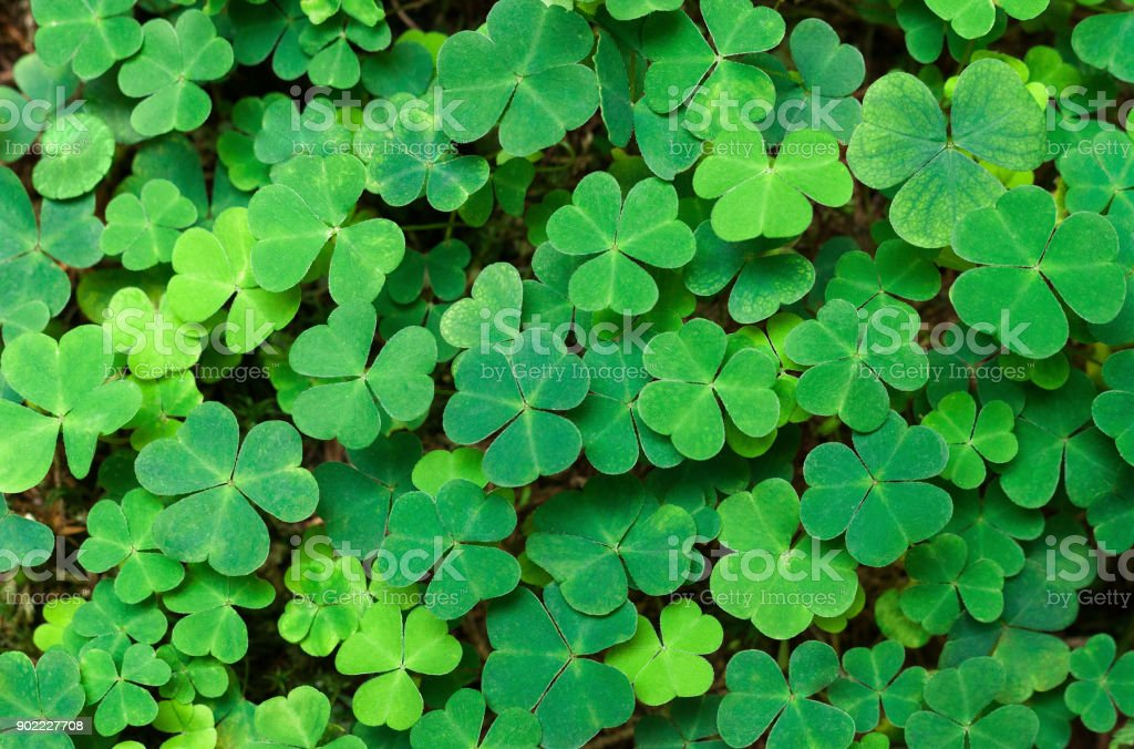 Green background with three-leaved shamrocks. St.Patrick's day holiday symbol. stock photo