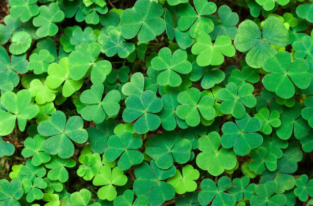 Shamrock Stock Photos, Pictures & Royalty-Free Images - iStock