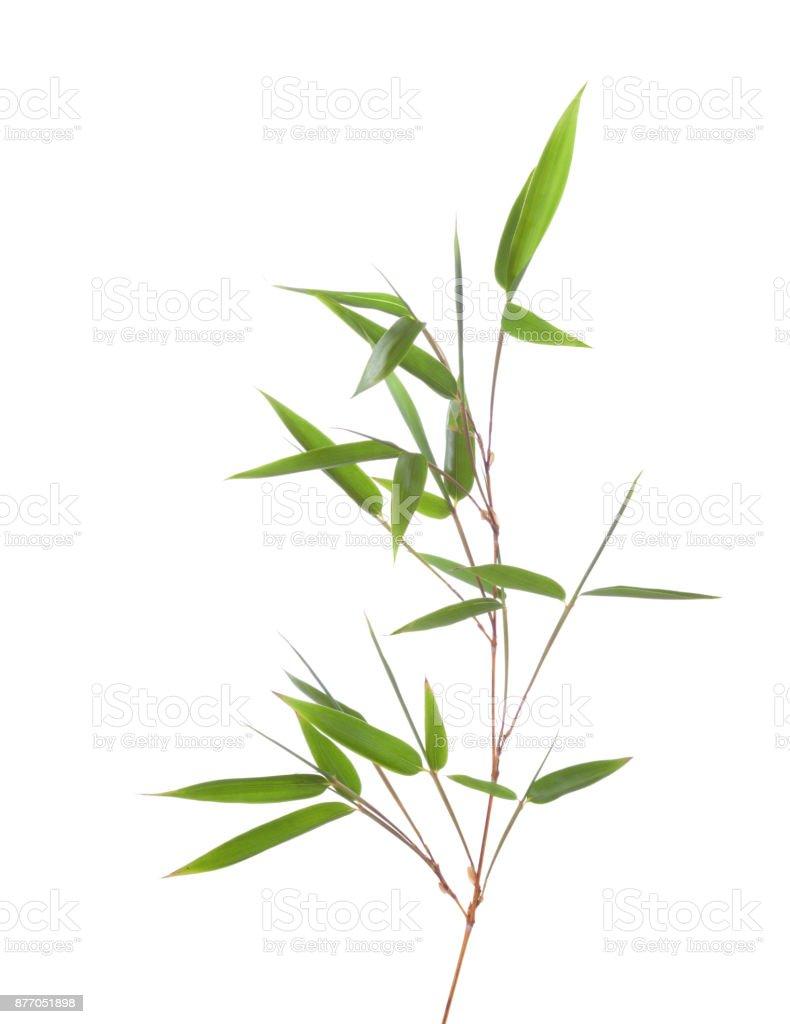 Grüner Bambus-Zweig mit Blättern isoliert auf weißem Hintergrund – Foto