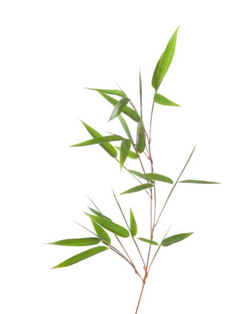 Branche de bambou vert avec feuilles isolé sur fond blanc - Photo
