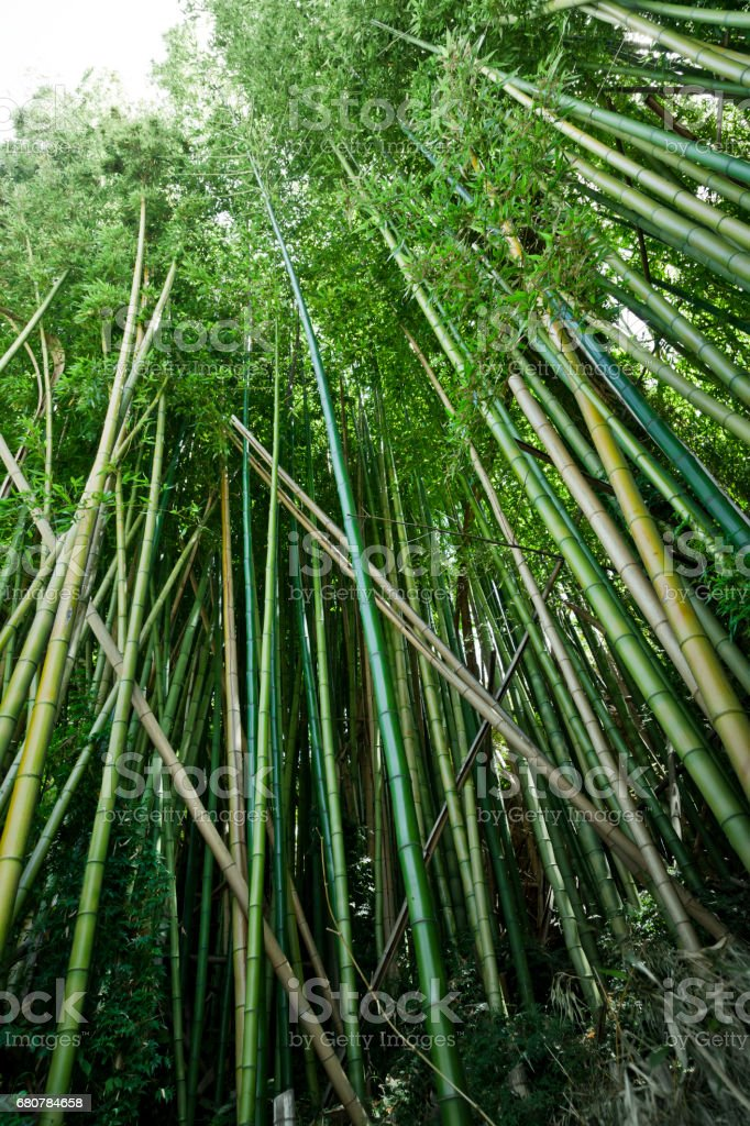 Green Bamboo forest background stock photo