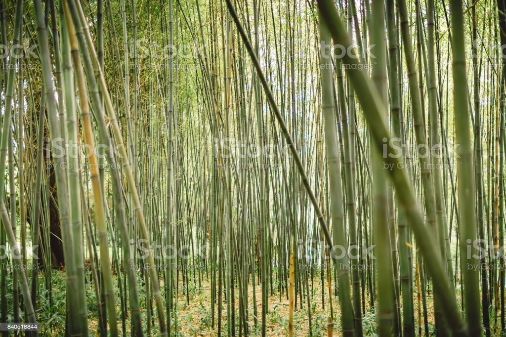 Green bamboo forest in Maui, Hawaii stock photo